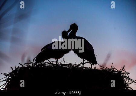 Une paire d'aimer les cigognes nichant dans la camargue, france.de port de pont de gau. Banque D'Images