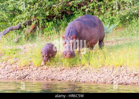 Un hippopotame Hippopotamus amphibious vu dans l'eau au Zimbabwe, Mana Pools National Park. Banque D'Images