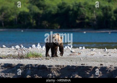 L'ours sauvage promenades le long de la rive du lac Banque D'Images