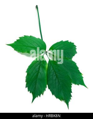 Virginia creeper vert feuille (Parthenocissus quinquefolia feuillage). Isolé sur fond blanc. Banque D'Images