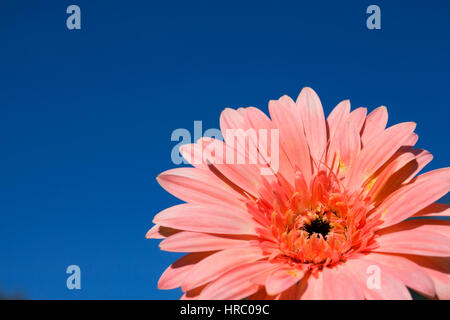 Gerbera rose blossom close up blue sky background