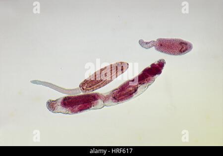 Les larves de Fluke (LM)