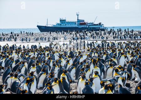Le roi géant penguin (Aptenodytes patagonicus) colonie et un bateau de croisière, la plaine de Salisbury, la Géorgie du Sud, l'Antarctique, régions polaires
