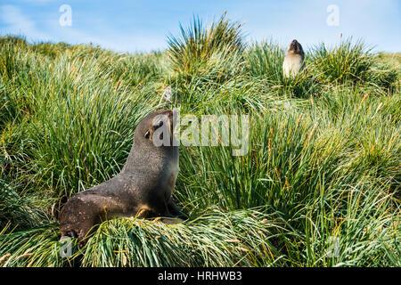 L'Antarctique jeunes (Arctocephalus gazella), Île du prion, la Géorgie du Sud, l'Antarctique, régions polaires