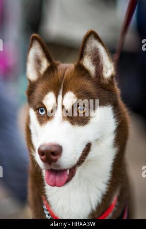 Un beau chien husky avec heterocromia (yeux couleurs différentes) d'un brun, un bleu Banque D'Images