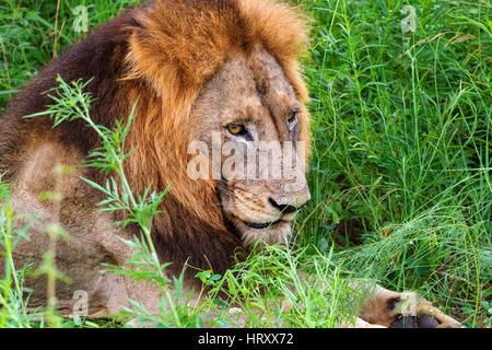 Homme Lion portrait - Rhône-Alpes lion (Panthera leo krugeri) aussi connu comme Southheast African Lion, Kruger Banque D'Images