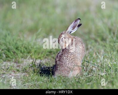 Lièvre brun (Lepus europaeus) le toilettage de North Norfolk terres agricoles. Banque D'Images