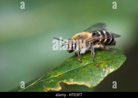 Ivy mining bee sur une feuille - Cornwall, uk Banque D'Images