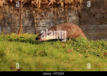 Étang de la loutre sur l'herbe à Alert.