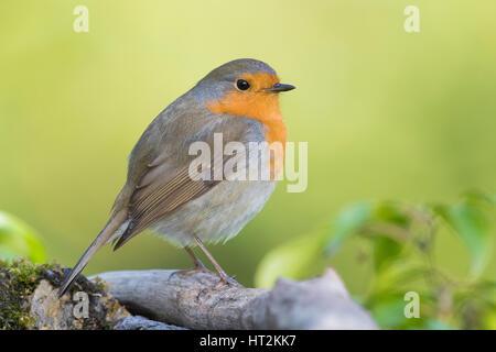 European Robin (Erithacus rubecula aux abords), adulte debout sur un morceau de bois Banque D'Images