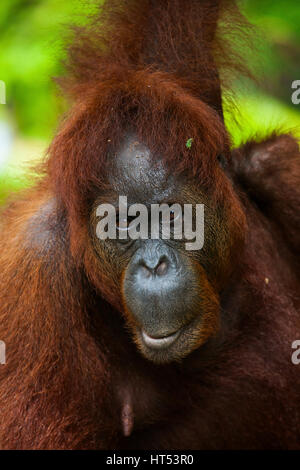 Orang-outan, Pongo pygmaeus, Centre de réhabilitation de Semenggoh, Sarawak, Bornéo, Malaisie, par Monika Hrdinova/Dembinsky Banque D'Images