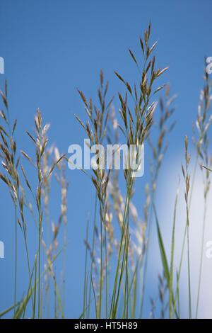 Les tiges d'herbe sur fond de ciel bleu avec du soleil entrant Banque D'Images
