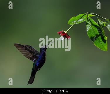 Le Campyloptère violet Campylopterus hemileucurus, Hummingbird, est un très grand hummingbird originaire du sud du Mexique et l'Amérique centrale jusqu'au sud d'une