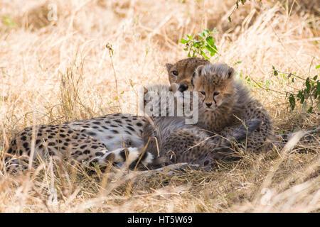 Guépard femelle au repos dans l'herbe sèche avec bébé d'oursons (Acinonyx jubatus), Maasai Mara National Reserve, Banque D'Images
