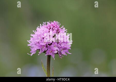 Traunsteinera globosa rose orchidée globe Banque D'Images