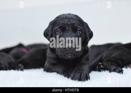 Chiots Labrador noir Banque D'Images