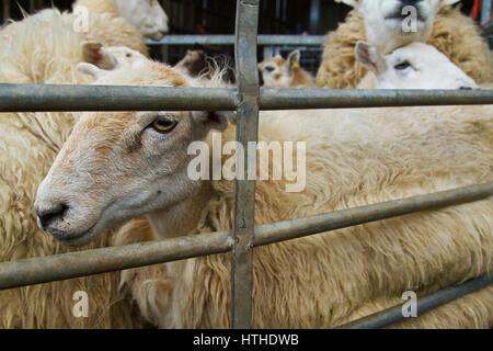Moutons dans un enclos en attente d'être cisaillé
