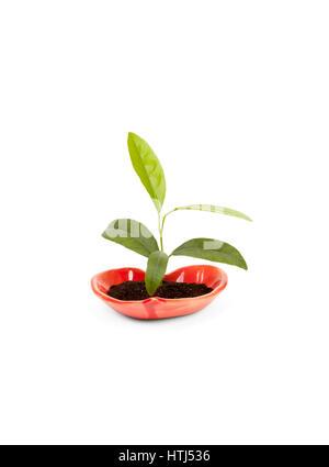 Symbole de l'amour et la croissance: citron plante en pot en céramique heartshaped isolé sur fond blanc Banque D'Images