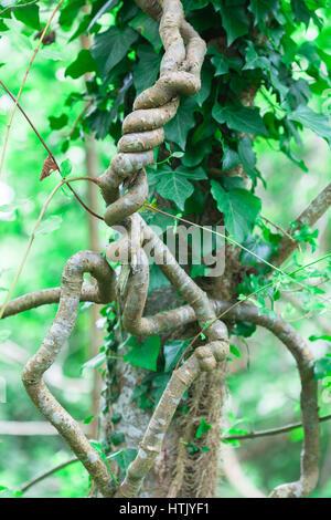 Hedera colchica ou persan appelé Colchide ivy