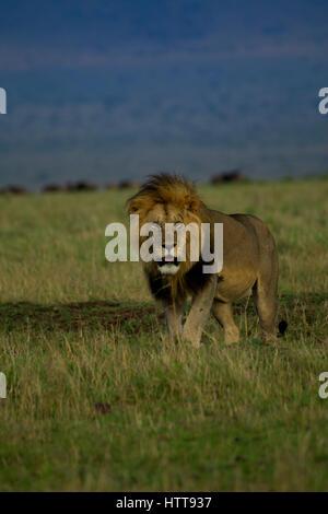 La crinière noire homme African lion (Panthera leo), Masai Mara National Reserve, Kenya, Afrique de l'Est Banque D'Images