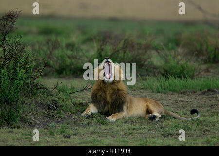 La crinière noire homme African lion (Panthera leo) le bâillement, Masai Mara National Reserve, Kenya, Afrique de Banque D'Images