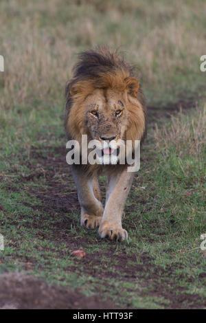 La crinière noire homme African lion (Panthera leo) Promenade à travers la savane, Masai Mara National Reserve, Banque D'Images