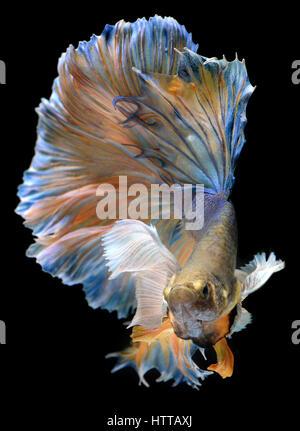 Waver colorés de Betta Saimese poisson lutte contre la beauté et la liberté en fond noir photo avec flash studio Banque D'Images