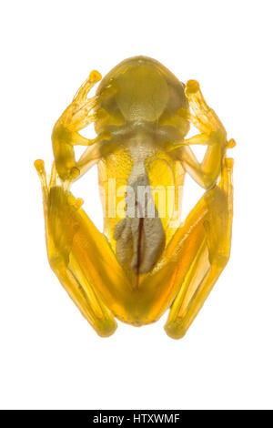 Grenouille de verre (Centrolene, Centrolenidae) dans le Chocó biogéographique, Buenaventura, Colombie Banque D'Images