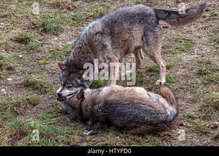 Deux combats de loups (Canis lupus), captive, Rhénanie-Palatinat, Allemagne Banque D'Images