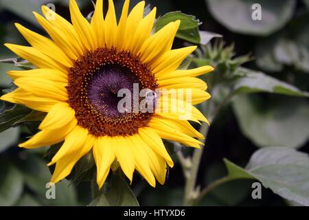 Une abeille recueille le pollen sur grand tournesol Banque D'Images