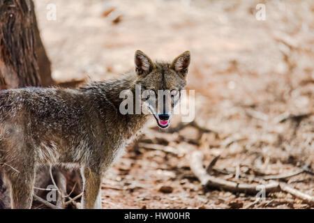 Portrait de Golden jackal debout et regarder