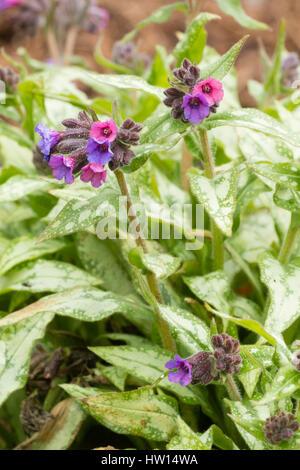 Feuillage argenté et fleurs bleu virant au rouge de la plante vivace herbe de Pulmonaria 'Silver Surprise' Banque D'Images
