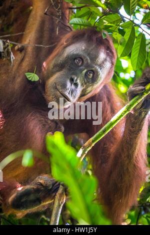 Portrait d'un orang-outan sauvage curieux dans le Parc National de Kutai, Indonésie. Reynold © Sumayku Banque D'Images