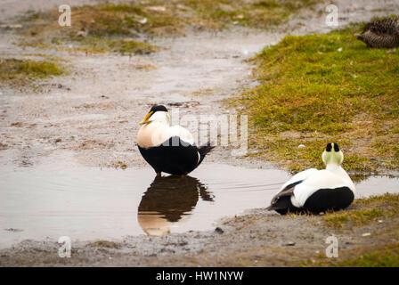 L'eider à duvet mâle deux oiseaux de l'étang dans le Svalbard, Norvège Banque D'Images