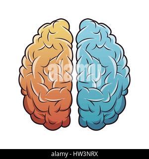 Les droits de l'anatomie du cerveau droit Banque D'Images
