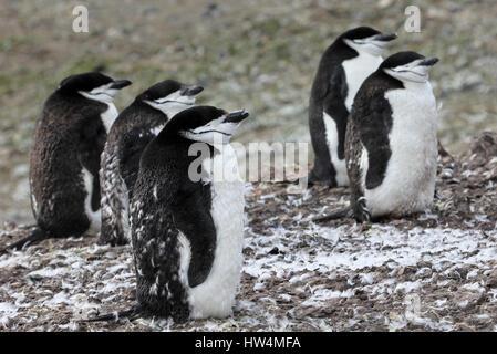 Wild jugulaire penguin debout sur la péninsule Antarctique