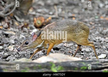Une timide petite souris Deer (Tragulus kanchil) sur le sol de la forêt dans l'ouest de la Thaïlande à Kaeng Krachan