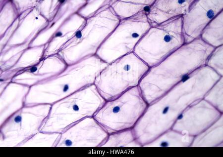 L'épiderme d'oignon avec de grandes cellules au microscope photonique. Effacer les cellules épidermiques d'un oignon, Banque D'Images