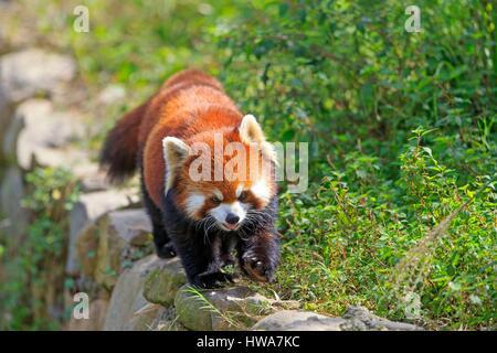 China, Shanghai, la recherche de base de l'élevage du Panda Géant ou Chengdu Panda Base, le panda rouge (Ailurus Banque D'Images