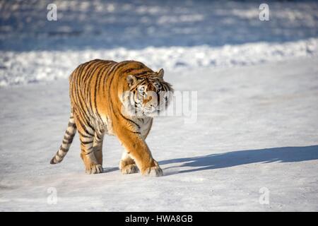 La Chine, la province de Heilongjiang, Harbin, Tiger, tigre de Sibérie (Panthera tigris altaica) Banque D'Images