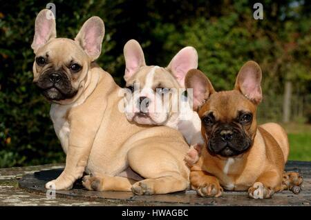 Bouledogue français (Canis lupus familiaris) Banque D'Images