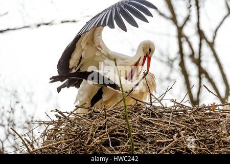 Cigogne blanche la parade nuptiale et l'accouplement de comportement. Banque D'Images