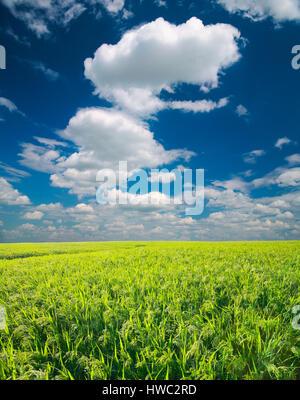 Champ de mil. Green Field, de l'agriculture paysage, domaine de mil sur un fond de ciel bleu avec des nuages Banque D'Images