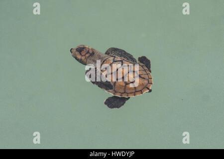 Bébé tortue caouanne, Caretta caretta à Pulau Harapan Banque D'Images