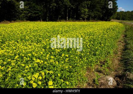 Domaine de la moutarde, de la moutarde blanche Sinapis alba, champ, engrais vert , Domaine de la moutarde (Sinapis Banque D'Images