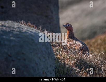 Le lagopède des saules (Lagopus femelle scoticus) parmi les rochers sur la grain meule de landes de bruyère de Kinder Banque D'Images
