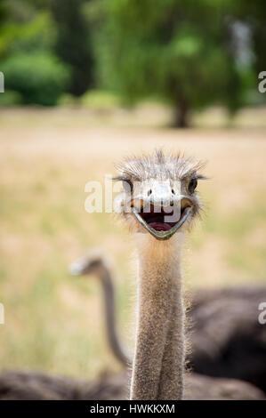 Curieux portrait d'oiseaux autruche close up Banque D'Images