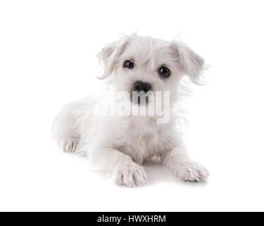 Maltese Westie ou West Highland Terrier puppy isolé sur fond blanc Banque D'Images