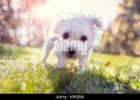 Jeune chiot à l'extérieur de la marche dans le parc sur une journée ensoleillée Banque D'Images
