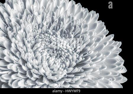 Fleur gerbera blanc monochrome macro portrait,single,fond noir fleur isolée,texture détaillée,printemps ou été Banque D'Images